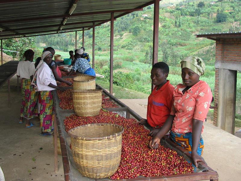 ルワンダの生産者。チェリーと呼ばれるコーヒーの実を選別しています。