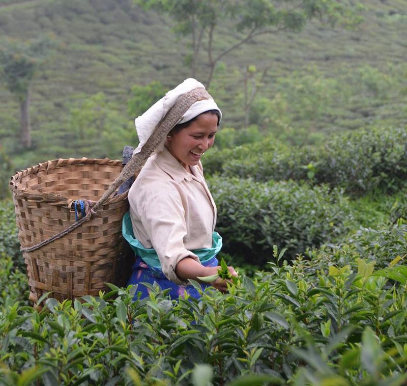 インド北部のダージリン地方にあるマカイバリ農園での茶摘みの様子。