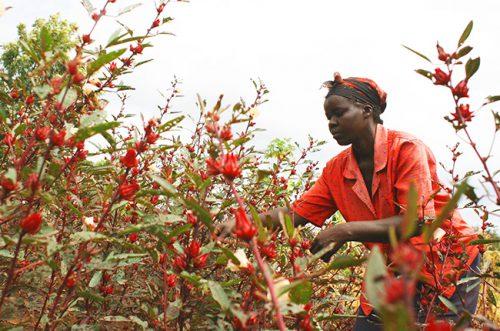 ハイビスカス畑で、ていねいに手摘みで収穫していきます。