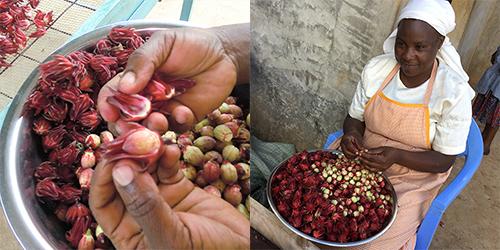 手作業でガクと種子を分けて、ガクを乾燥させてハーブティーに。